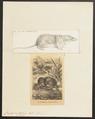 Crossopus fodiens - 1700-1880 - Print - Iconographia Zoologica - Special Collections University of Amsterdam - UBA01 IZ20900141.tif