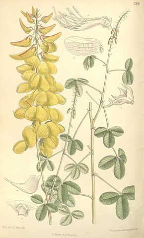 Description de l'image Crotalaria longirostrata from Curtis s Botanical Magazine.jpg.