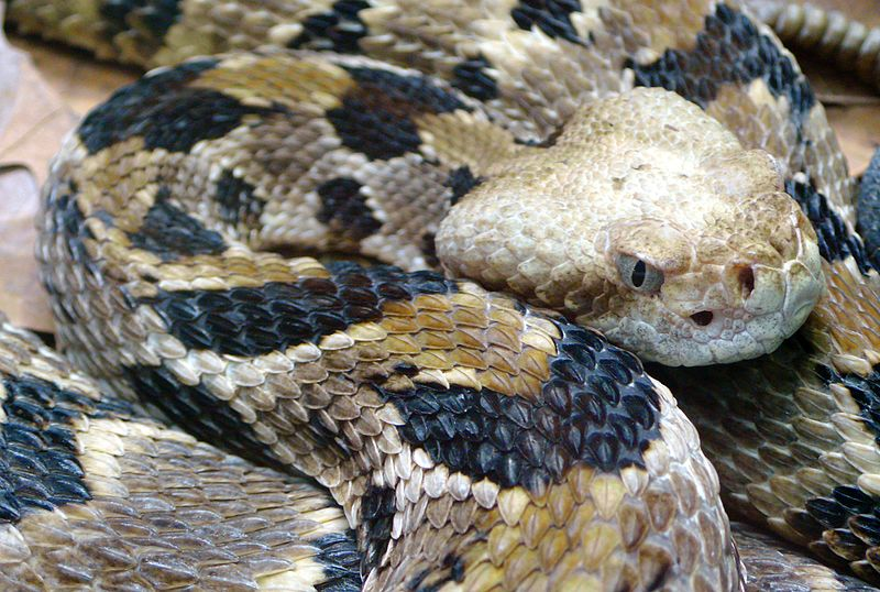 File:Crotalus horridus (5).jpg