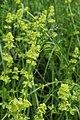 Cruciata laevipes TK 2021-06-06 1.jpg