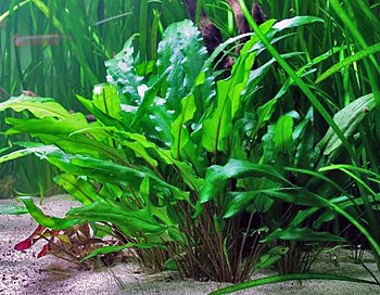 English: Cryptocoryne wendtii 'Green' Deutsch:...