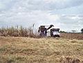 Cuba-canne a sucre.jpg