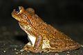 Cuban Tree Frog (Osteopilus septentrionalis) (8573972935).jpg