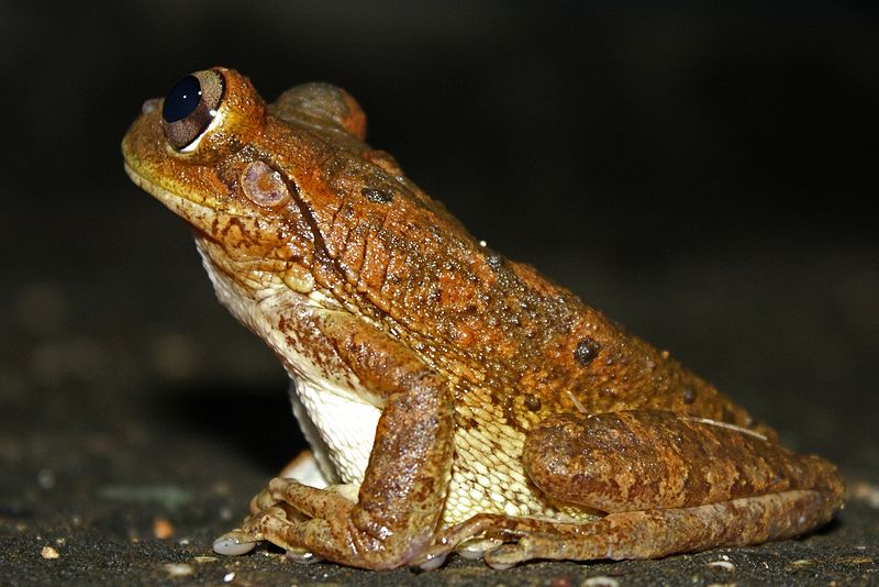 Image result for Cuban Tree Frog