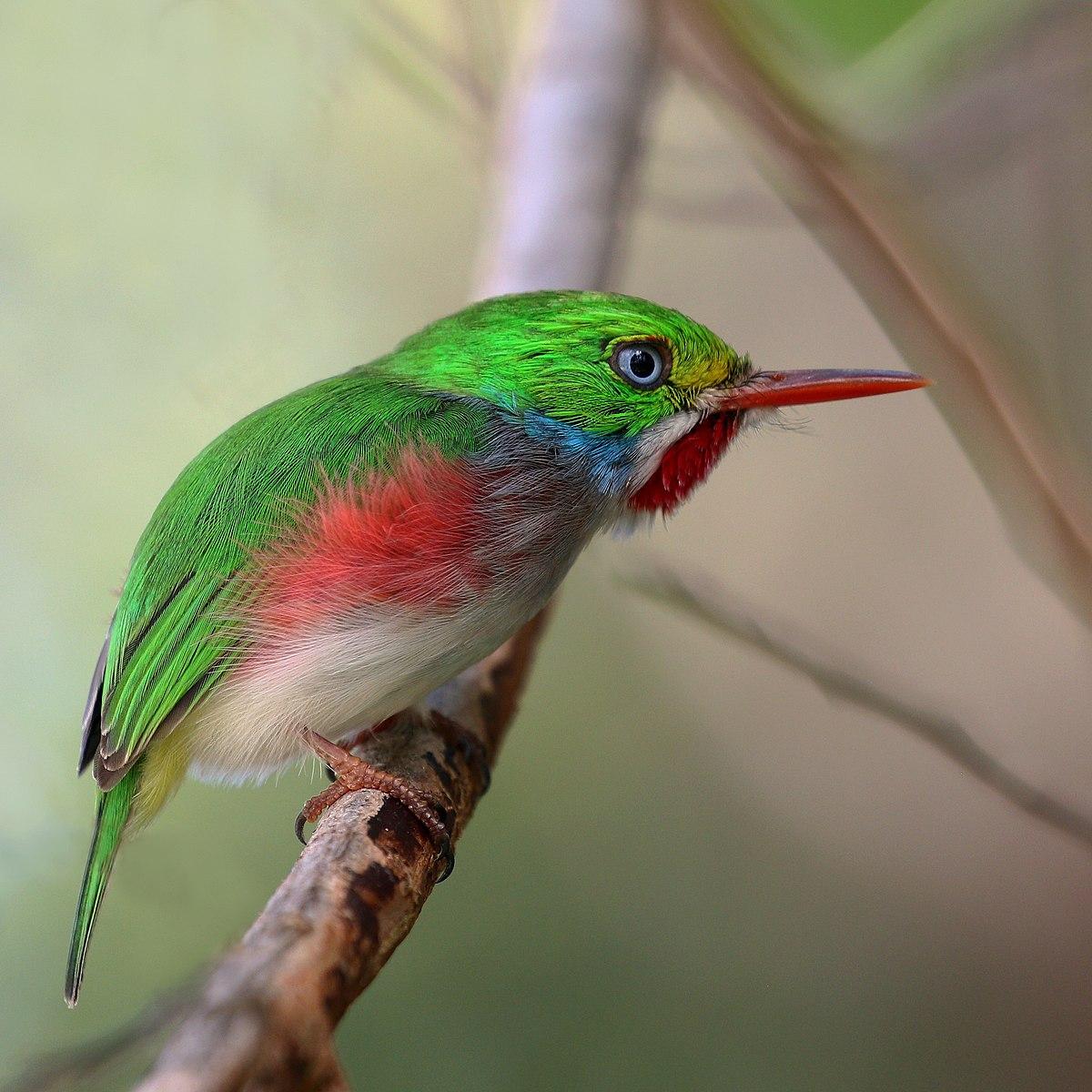 Cuban tody (Todus multicolor).JPG