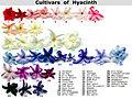 Cultivars of Hyacinth.JPG
