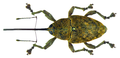 Curculio glandium Marsham, 1802 female (8112399337).png