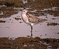 Curlew Sandpiper (Calidris ferruginea) (11354481805).jpg