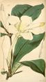 Curtis's Botanical Magazine, Plate 4307 (Volume 73, 1847).png