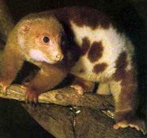 Cuscus - Common spotted cuscus