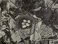 Cyanocitta cristata nest 1904.jpg