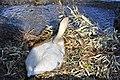 Cygnus olor (brütend) - Arboretum 2011-05-24 18-04-14.jpg