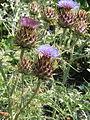 Cynara cardunculus flavescens (14760321313).jpg