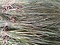 Cynodon dactylon in Maruthamalai.jpg