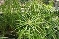 Cyperus involucratus 4zz.jpg
