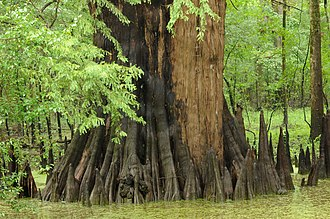 White River National Wildlife Refuge - Old growth bald cypress forests are a feature of the National Wildlife Refuge.