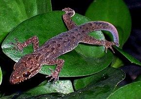 cyrtodactylus � wikip233dia