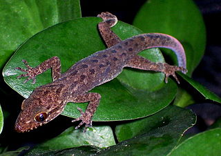 <i>Cyrtodactylus</i> genus of reptiles