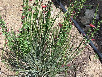 Lena broom - Image: Cytisus scoparius x dallimorei 'Lena' 03