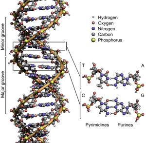 1953 in science - 25 April 1953: the DNA double helix is first formally described.