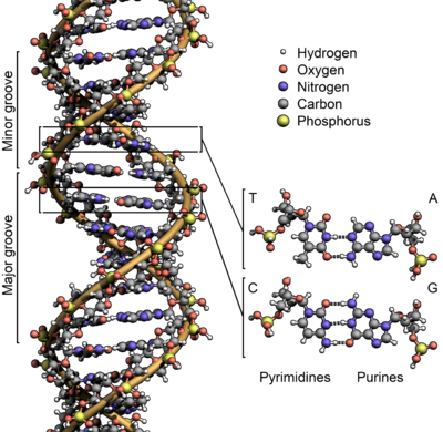 c510841d4 The structure of the DNA double helix. The atoms in the structure are  colour coded by element, the spiralling backbone of the two strands is  shown in orange ...