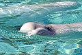 DSC09176 - Beluga Whale (36824020680).jpg