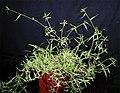 Dactyloctenium aegyptium (L.) Willd. (AM AK302082-1).jpg