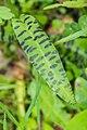 Dactylorhiza fuchsii in Morzine (2).jpg