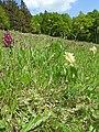 Dactylorhiza sambucina 16.jpg