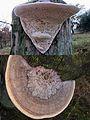 Daedalea quercina (Oak Mazegill or Mazegill Fungus, D= Eichenwirrling, F= Dédalée du chêne, NL= Doolhofzwam)(Querus=Oak=Eiche=Chêne=Eik) white spores, causes brownrot, at Posbank bicycle path at the wooden pylon of - panoramio.jpg