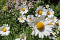 Daisies at Chillerton Main Road 2.jpg