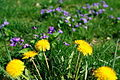 Dandelion-flower-grass - West Virginia - ForestWander.jpg