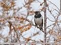 Dark-throated Thrush (Turdus ruficollis) (49921519386).jpg