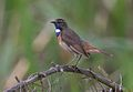 David Palmer Bluethroat.jpg