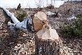 Dead tree. Beavers @ work (3376173412).jpg