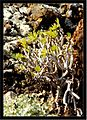 December Dracaena draco Agavaceae Colors Haria - Master Lanzarote Photography 1988 - panoramio (1).jpg