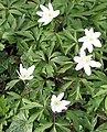 Delicate wood anemones - geograph.org.uk - 730744.jpg