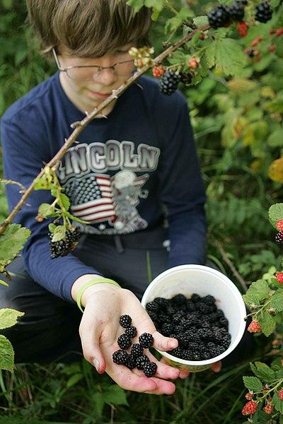 File:Delicious blackberries.jpg