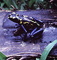 Dendrobates tinctorius - Suriname.jpg