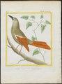 Dendrocolaptes giganteus - 1700-1880 - Print - Iconographia Zoologica - Special Collections University of Amsterdam - UBA01 IZ19200215.tif