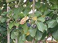 Dendropanax trifidus2.jpg