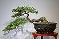 Deodar Cedar (Cedrus deodara) (3502433476).jpg