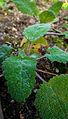 Der Muskatellersalbei, lat. Salvia sclarea 09.jpg