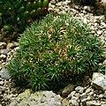 Deuterocohnia brevifolia 1prg.jpg