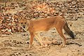 Dhole or Wild dog (50).jpg
