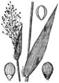 Dichanthelium sphaerocarpon (as Panicum sphaerocarpon) HC-1950.png