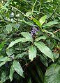 Dichorisandra thyrsiflora kz4.jpg