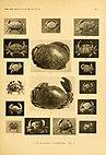 Die Rundkrabben (Cyclometopa) des Roten Meeres (1913) (20755410678).jpg