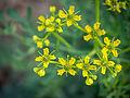 Die Weinraute, lat. Ruta graveolens, Blüten.jpg