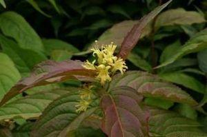 Diervilla - Image: Diervilla sessilifolia